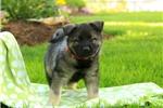 Picture of Suki / Norwegian Elkhound
