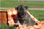 Picture of Poppy / Norwegian Elkhound