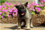 Picture of Kodiak / Norwegian Elkhound