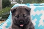 Picture of Alaina / Norwegian Elkhound