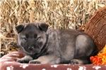 Picture of Trevor / Norwegian Elkhound