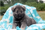 Picture of Avery / Norwegian Elkhound