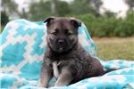 Picture of Aubrey / Norwegian Elkhound