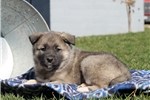 Picture of Lincoln / Norwegian Elkhound