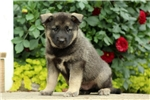 Picture of Branson / Norwegian Elkhound