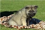 Picture of Fargo / Norwegian Elkhound