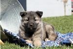 Picture of Lucky / Norwegian Elkhound