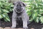 Picture of Caleb / Norwegian Elkhound