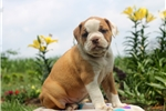 Picture of Bethany / Olde English Bulldogge