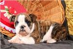 Picture of Rambo / Olde English Bulldogge