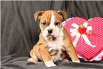 Picture of Rosie / Olde English Bulldogge