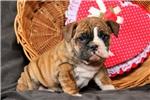 Picture of Reba / Olde English Bulldogge