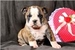 Picture of Rebecca / Olde English Bulldogge