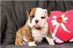 Picture of Rachel / Olde English Bulldogge