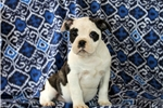 Picture of Sasha / Olde English Bulldogge