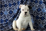 Picture of Stephanie / Olde English Bulldogge
