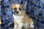 Picture of Shayla / Olde English Bulldogge