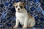 Picture of Stacy / Olde English Bulldogge