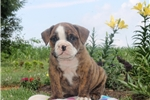 Picture of Buster / Olde English Bulldogge