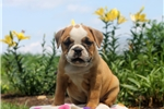 Picture of Brody / Olde English Bulldogge