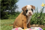 Picture of Briar / Olde English Bulldogge