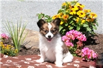 Picture of Charlie / Papillon