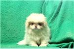 Picture of Perky / Pekingese