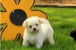 Tilly / Pomapoo | Puppy at 8 weeks of age for sale