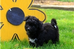 Tessa / Pomapoo | Puppy at 8 weeks of age for sale
