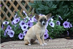 Picture of Lilac / Pomchi