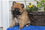 Picture of Abby / Pomeranian