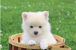 Picture of Kathy/ Pomeranian