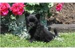 Picture of Greta / Pomeranian