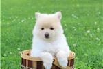 Picture of Karen / Pomeranian