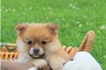Picture of Kimberly / Pomeranian