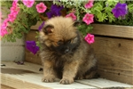 Picture of Henry / Pomeranian