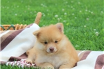 Picture of Kevin / Pomeranian