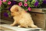 Picture of Hans / Pomeranian