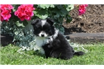 Picture of Gizmo / Pomeranian