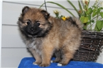Picture of Annie / Pomeranian