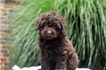 Picture of Cameron / Miniature Poodle