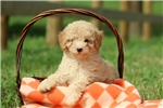 Picture of Haddley / Miniature Poodle