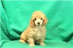 Picture of Cinderella / Miniature Poodle