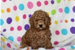 Picture of Bentley / Miniature Poodle