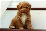 Picture of Dax / Miniature Poodle