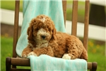 Picture of Curry / Miniature Poodle