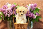 Picture of Mabel / Miniature Poodle