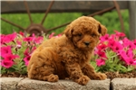 Picture of Cleo / Miniature Poodle