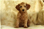 Picture of Janelle / Miniature Poodle