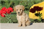 Picture of Buddy / Miniature Poodle